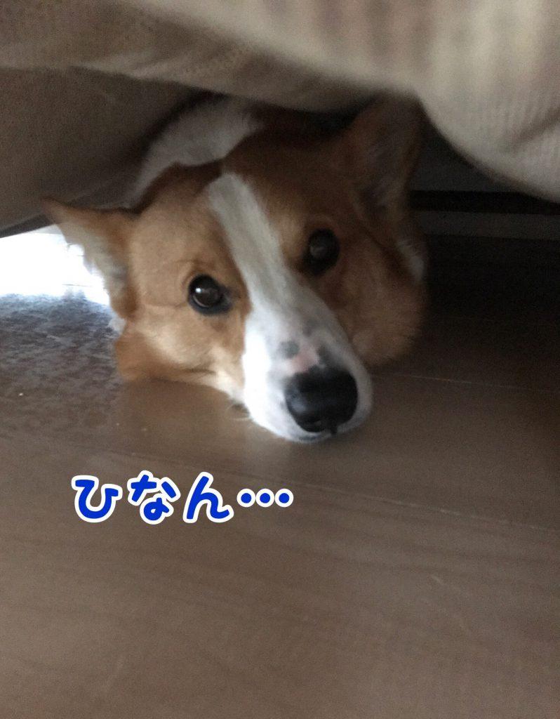 コーギーのはるさん雷がゴロゴロなったのでソファーの下に避難しています