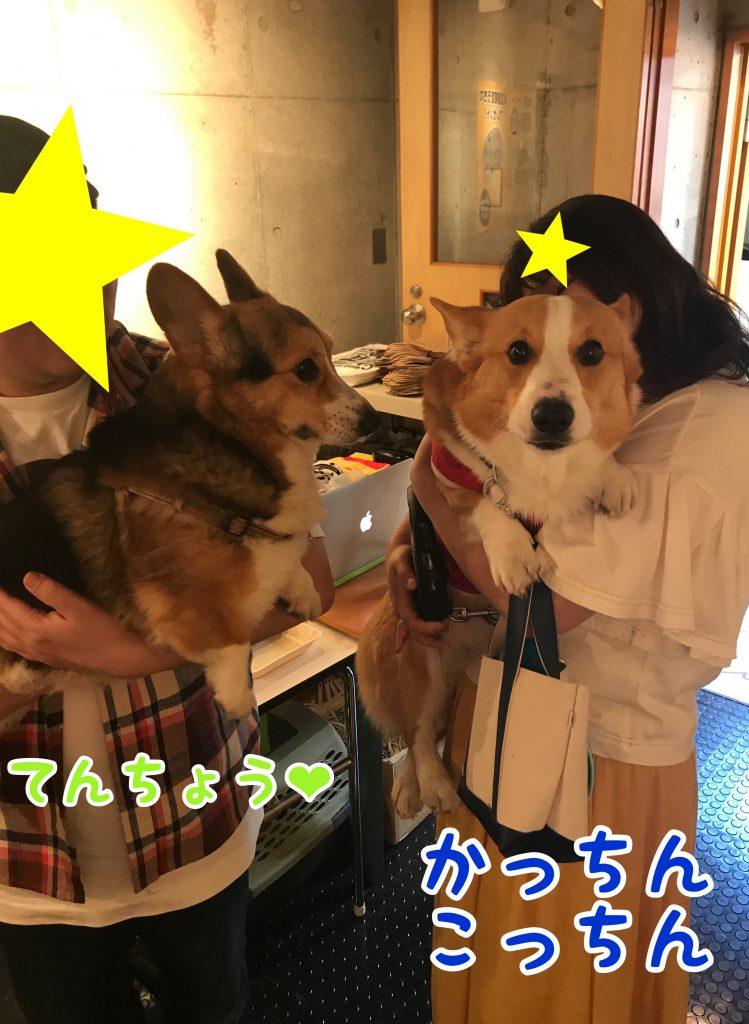 虎太郎店長とはるさんの夢のコーギーツーショット写真です
