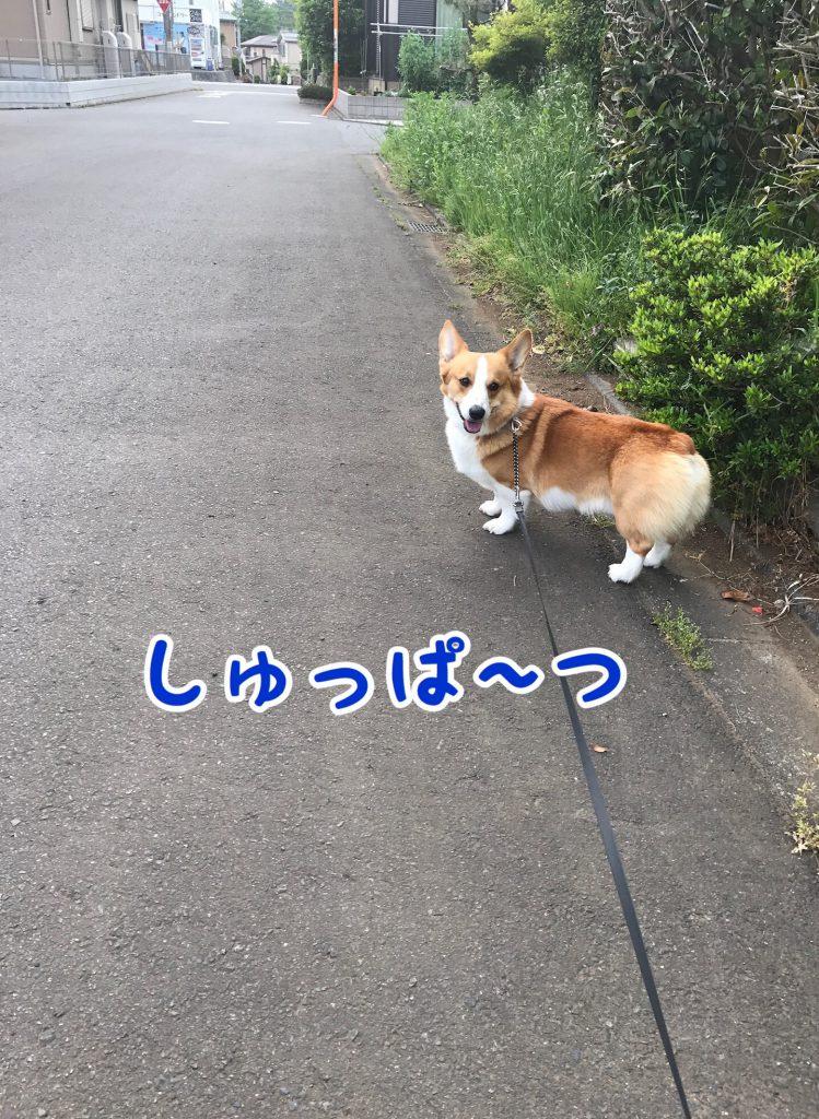 今日も元気にお散歩へ出かけるコーギー