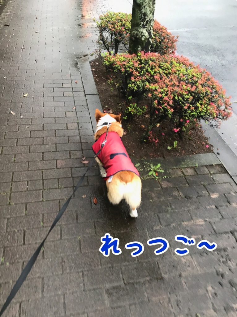 雨だけどお散歩行くでし!レッツゴー!