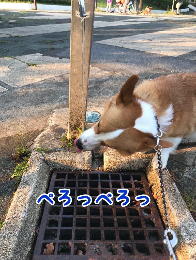 水道から直接水を飲むはるさん