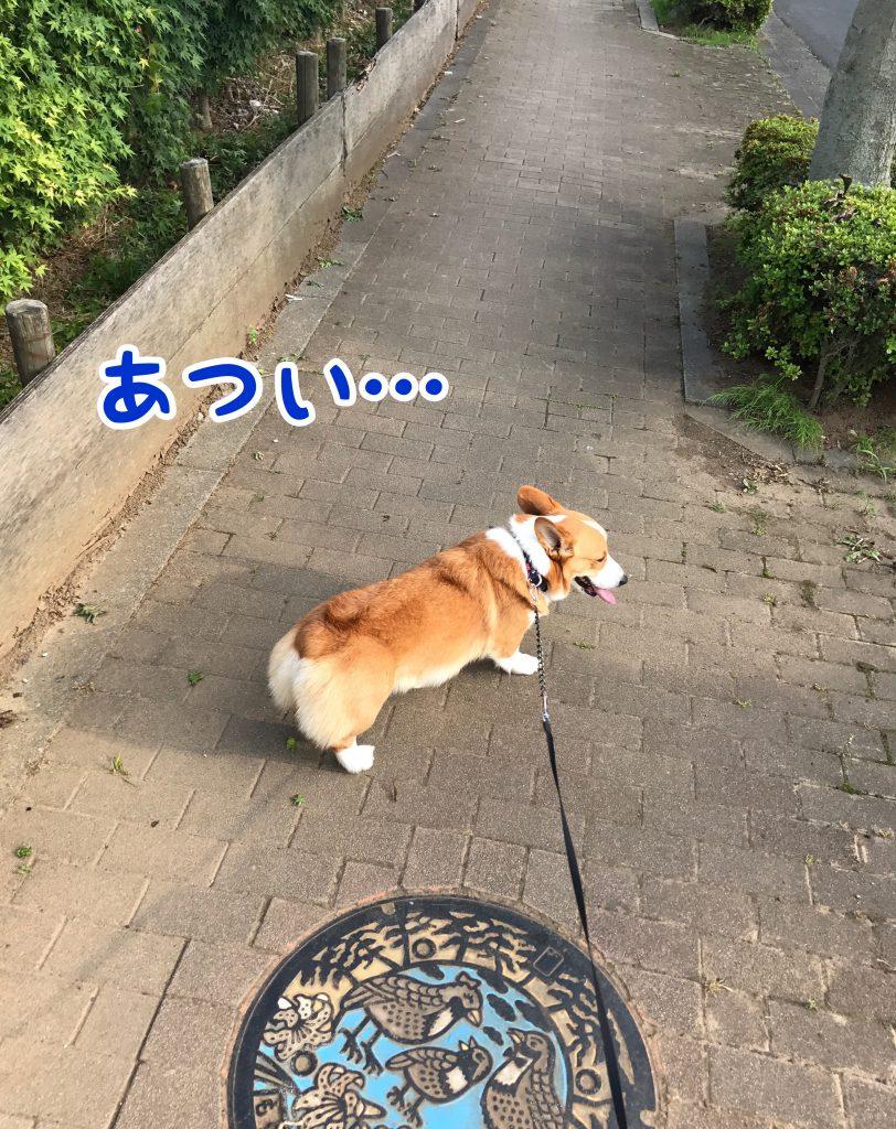 お散歩暑いでし。。ちょっとトボトボ歩いているコーギーのはるさん
