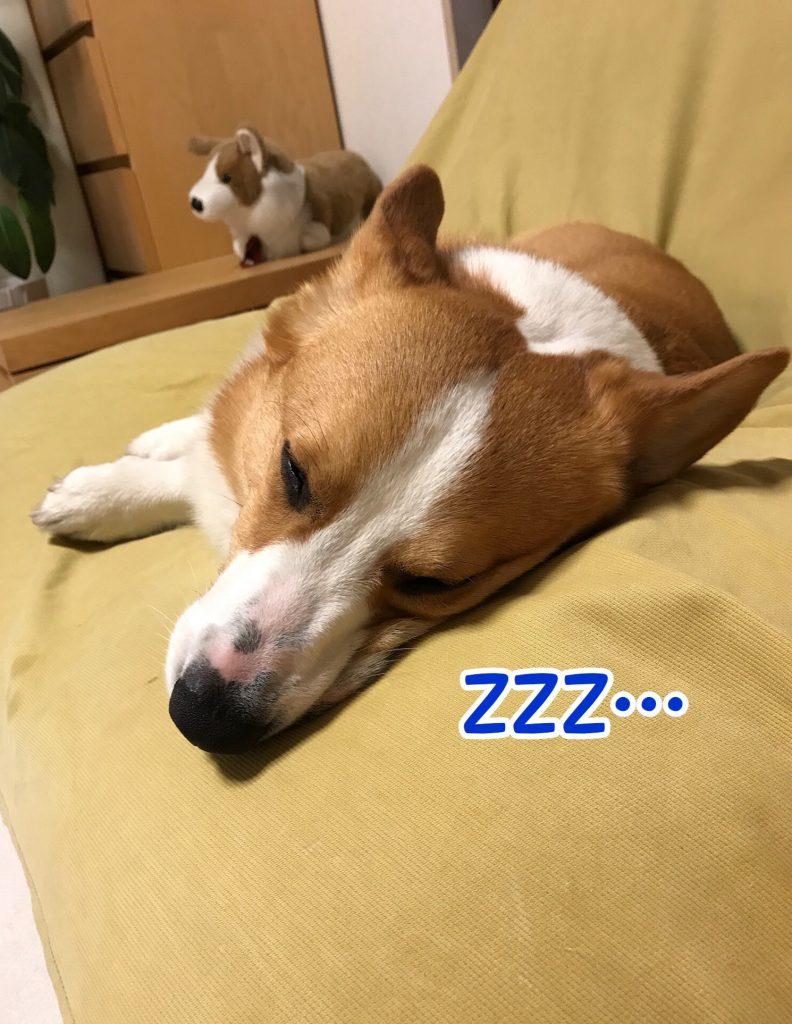 ソファーで寝ているコーギーのはるさん