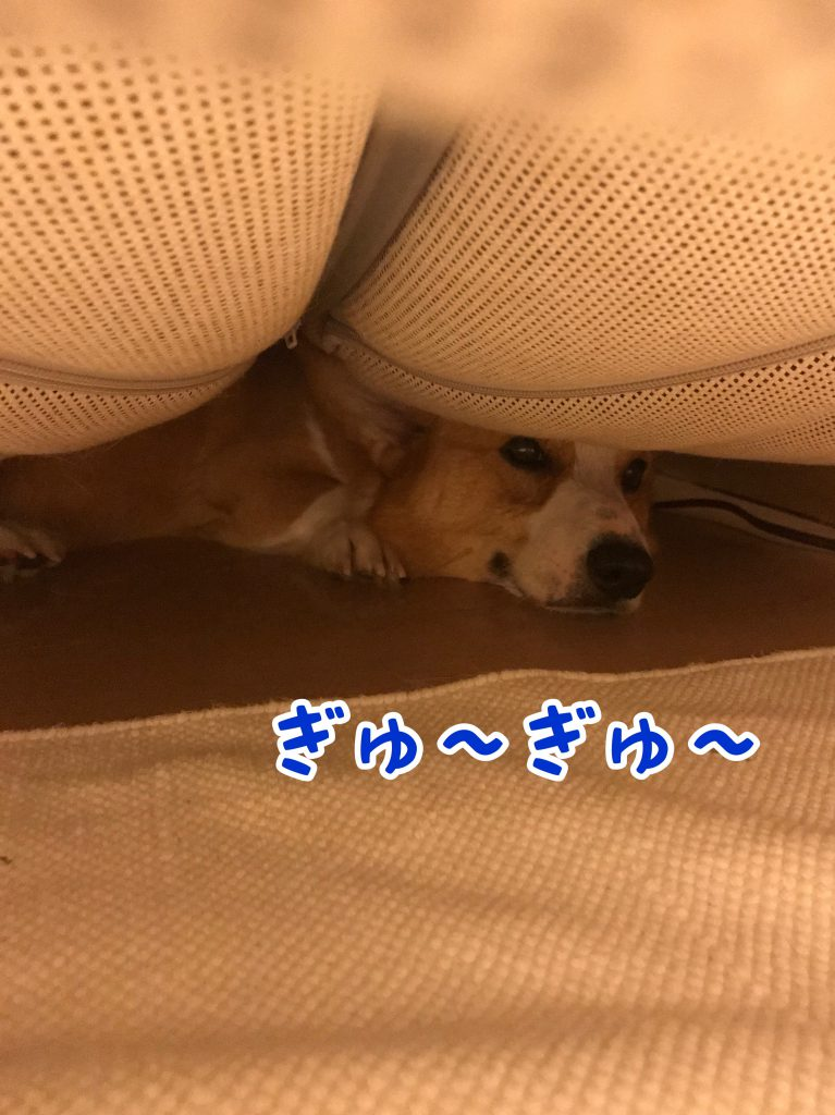 もうギューギューです。こんなに狭くなっちゃったのにソファーの下が好きなんですね