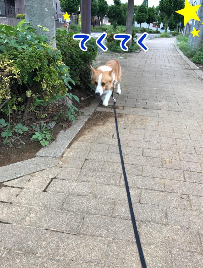 いつものようにテクテクお散歩するはるさん
