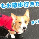 雨でもお散歩行きたいコーギーのはるさん