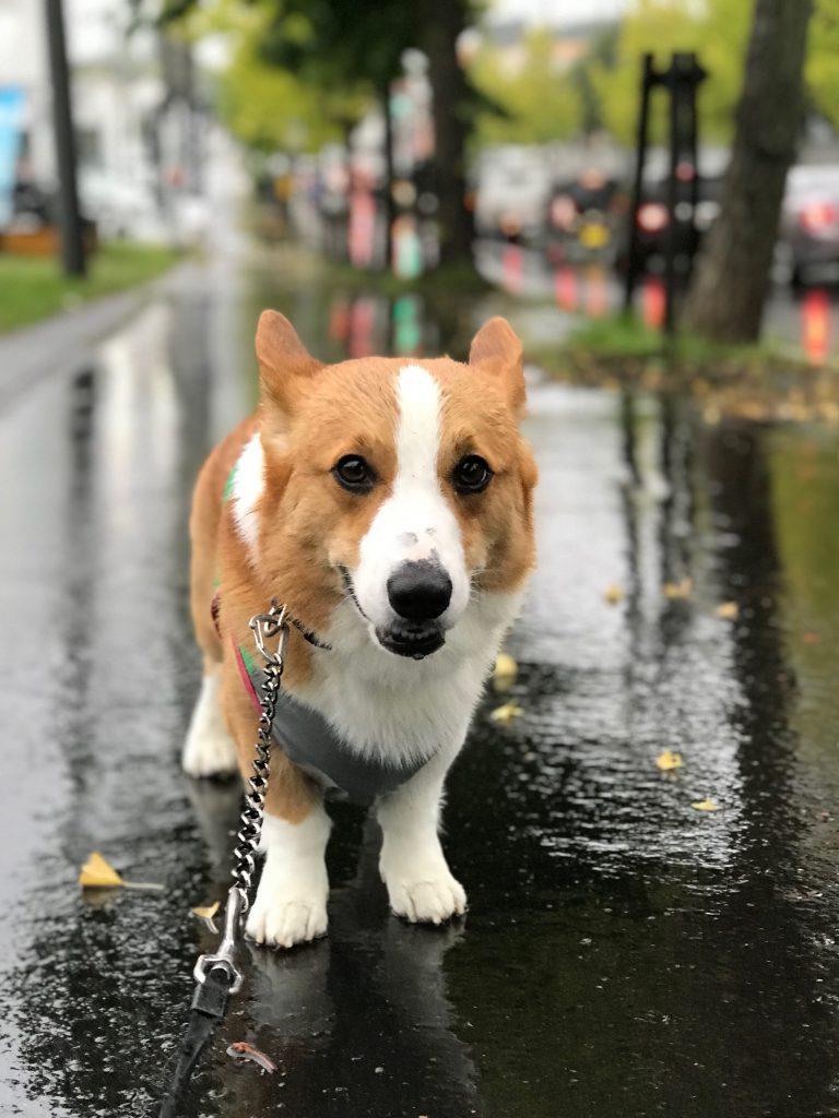雨に濡れるコーギーのはるさん