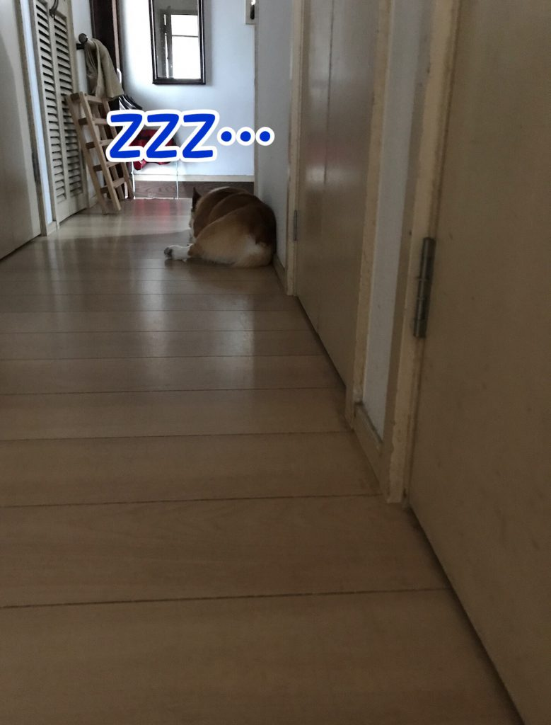 廊下の隅で寝ているコーギーのはるさん