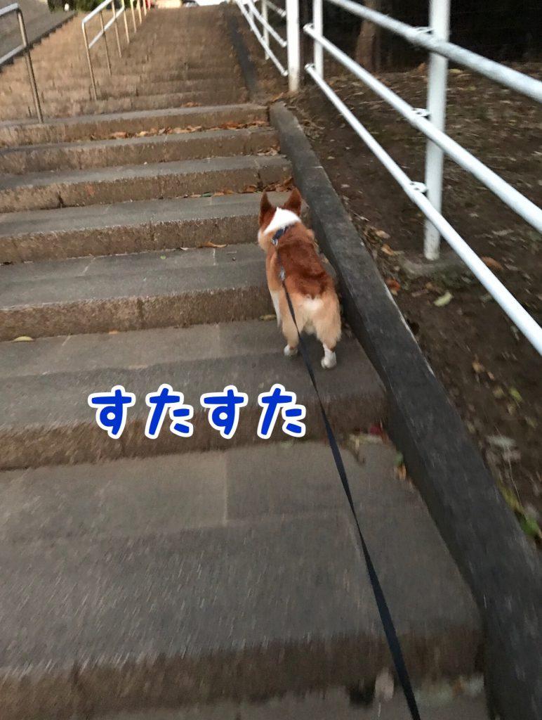 階段をスタスタ登るコーギー