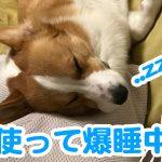 枕を使って熟睡中のコーギー