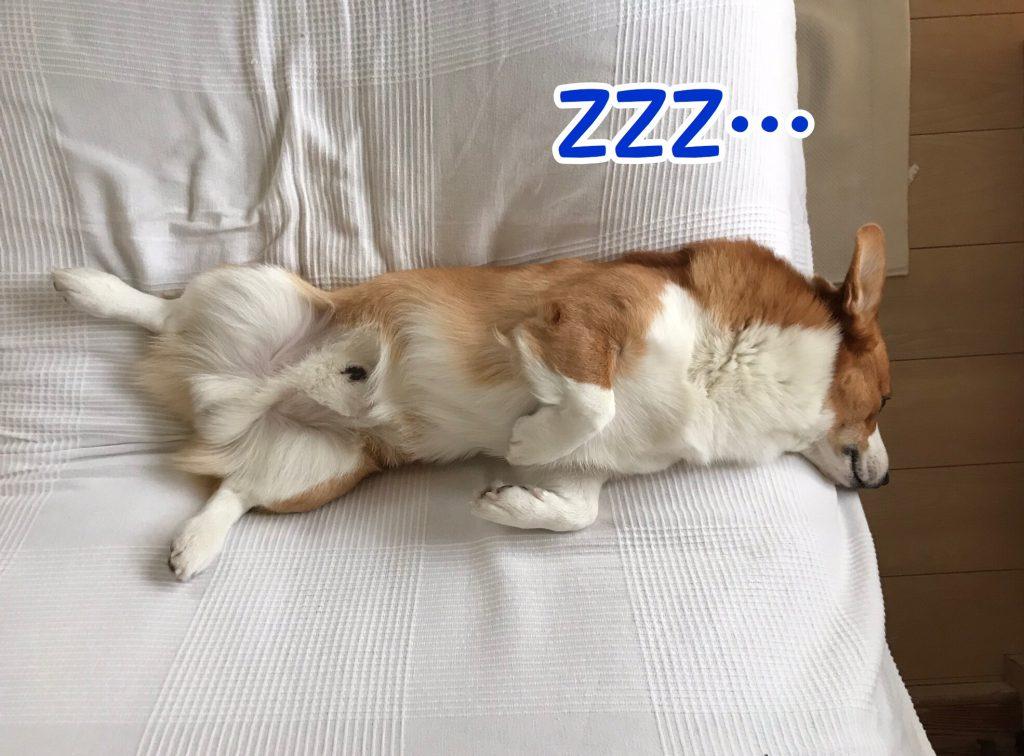 寝ているコーギー