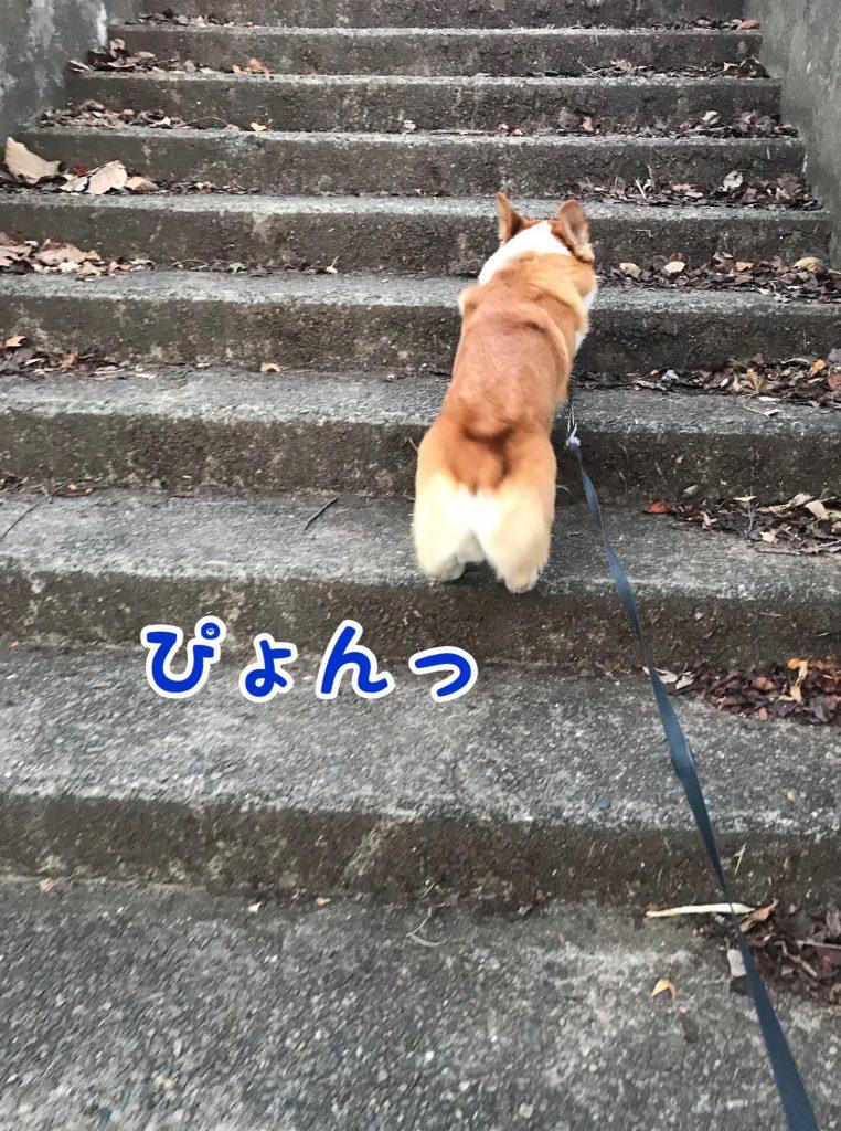 階段を登るコーギー犬