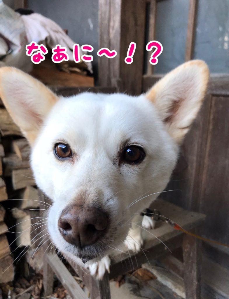 コーギーと柴のミックス犬「メイちゃん」登場です