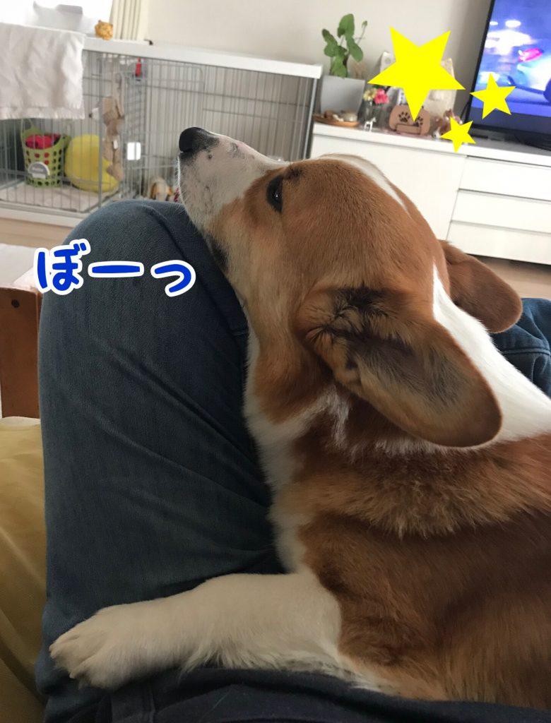 ぼーっとしているコーギー犬