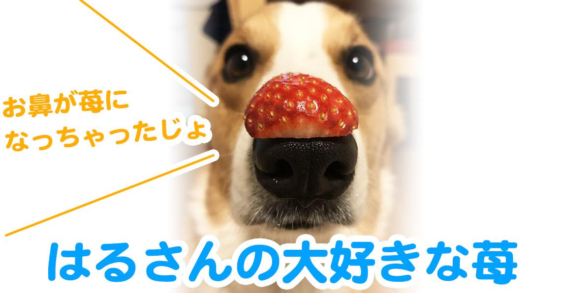 苺大好きコーギー犬