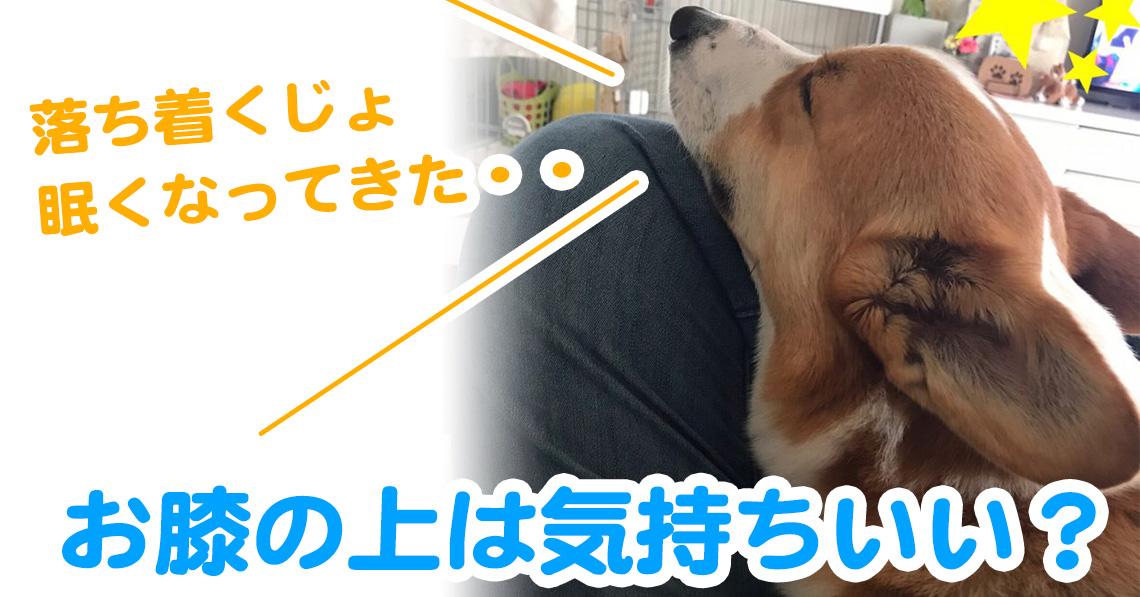 お膝の上で寝ちゃったコーギー犬