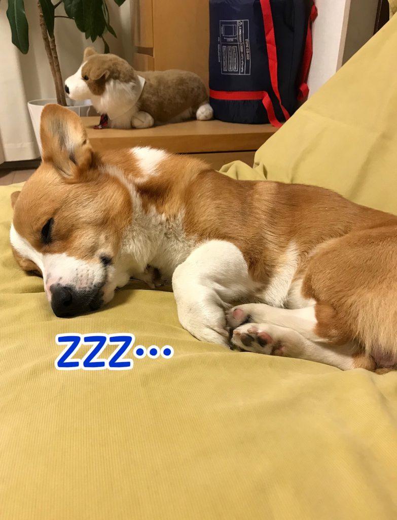 お休み中のコーギー犬
