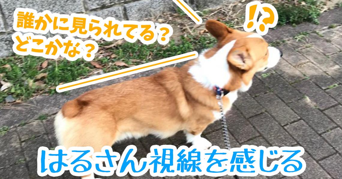 視線を感じるコーギー犬