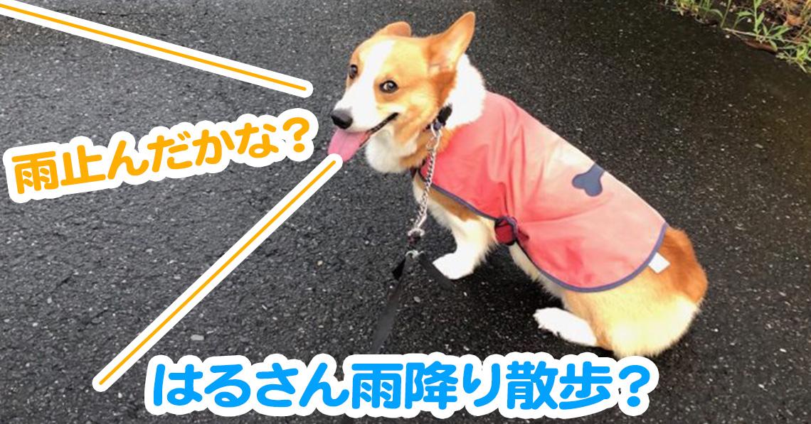はるさん雨降り散歩?