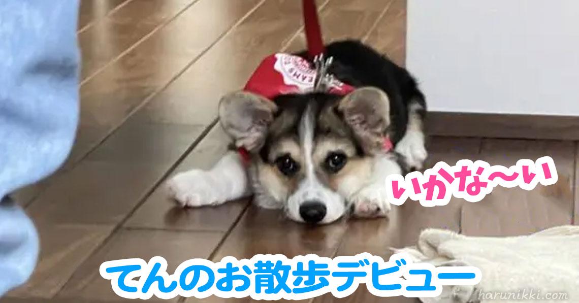 てんのお散歩デビュー
